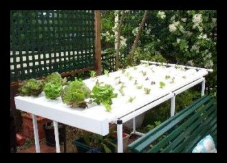 Hydroponic Lettuce: week one