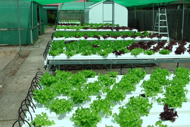Hydroponic benches with lettuce at week one