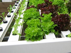 Homegrown produce with hydroponics